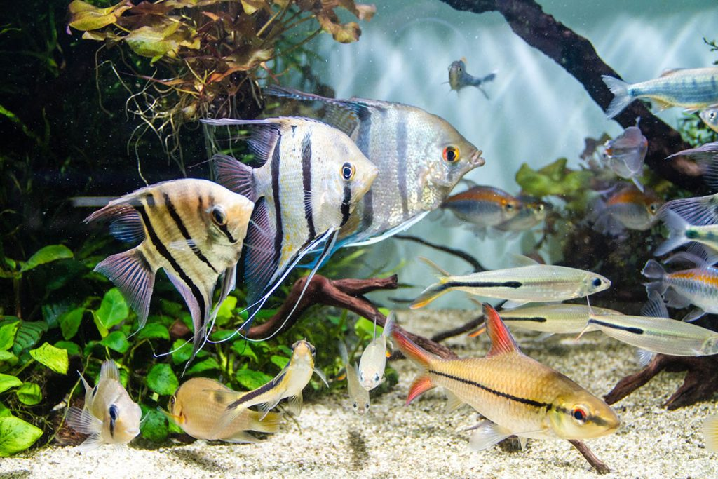 Angelfish and schooling of tropical fish in planted tank
