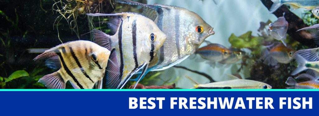 best freshwater fish for beginners header