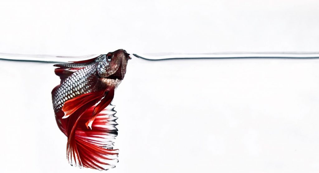 betta fish coming up for air on white background