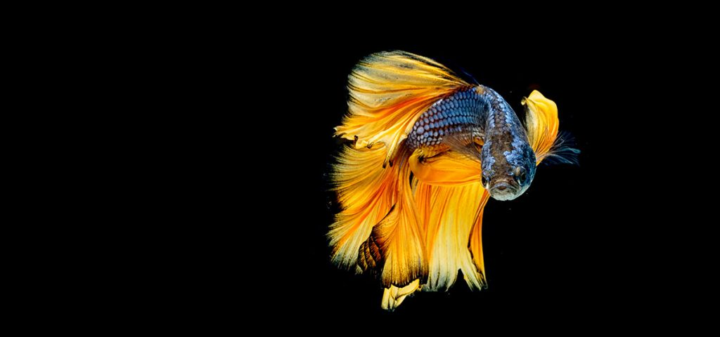 black blue and gold betta
