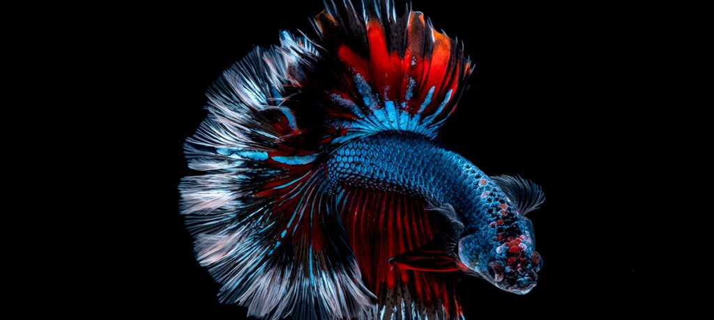blue and red betta fish on black background