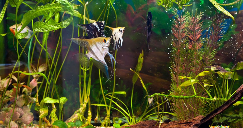 clean fish tank with angel fish