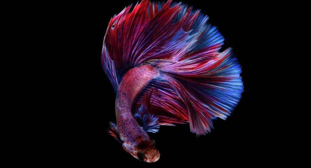 colorful red and blue betta on black background