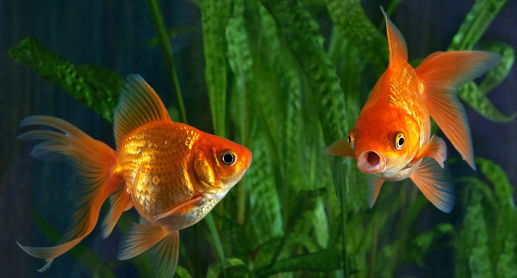 What Do Goldfish Eat? Complete Guide to Feeding Your Pet