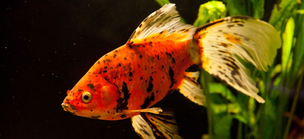 goldfish freshwater fish