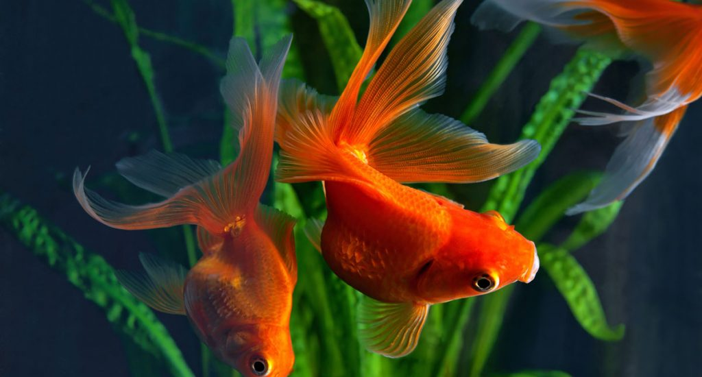 goldfish in aquarium with plants in the background