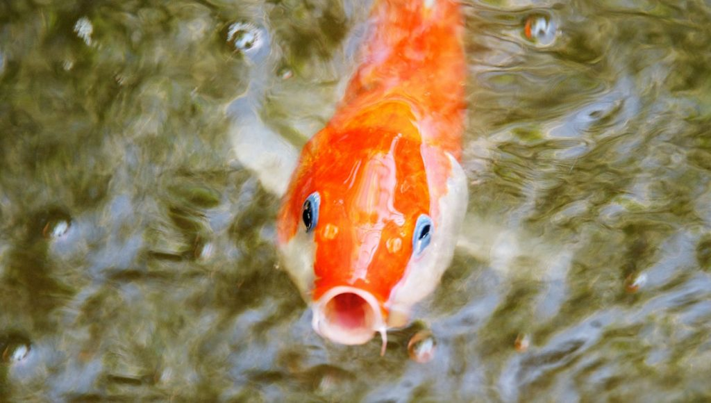 goldfish with open mouth to eat
