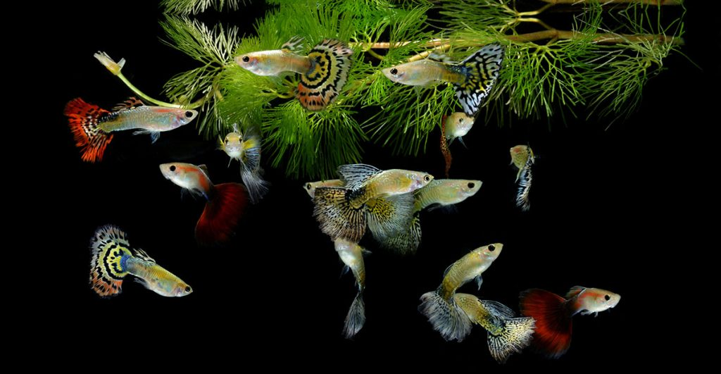 guppies freshwater fish