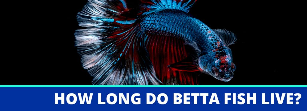 how long do betta fish live header