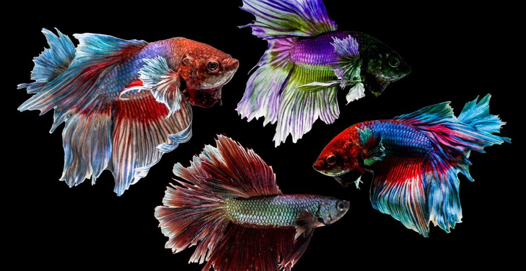 multiple colorful betta freshwater fish