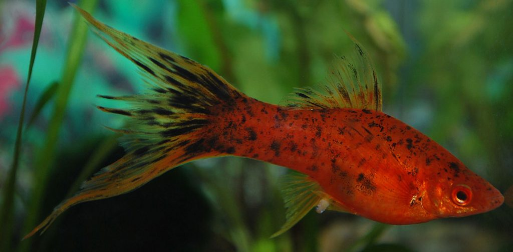 swordtail freshwater fish