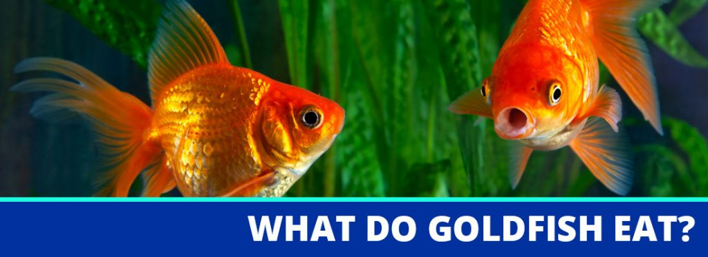 what do goldfish eat header