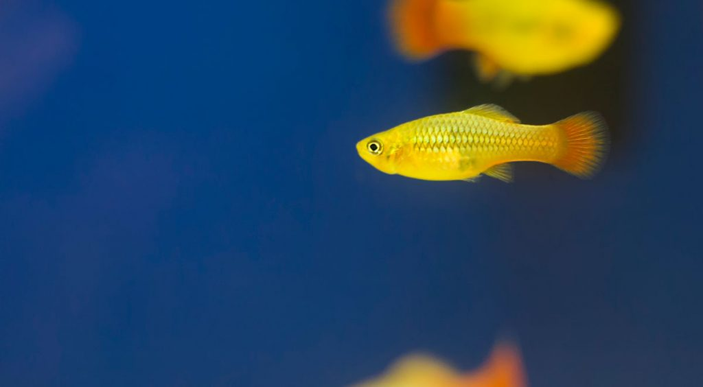 yellow platy freshwater fish