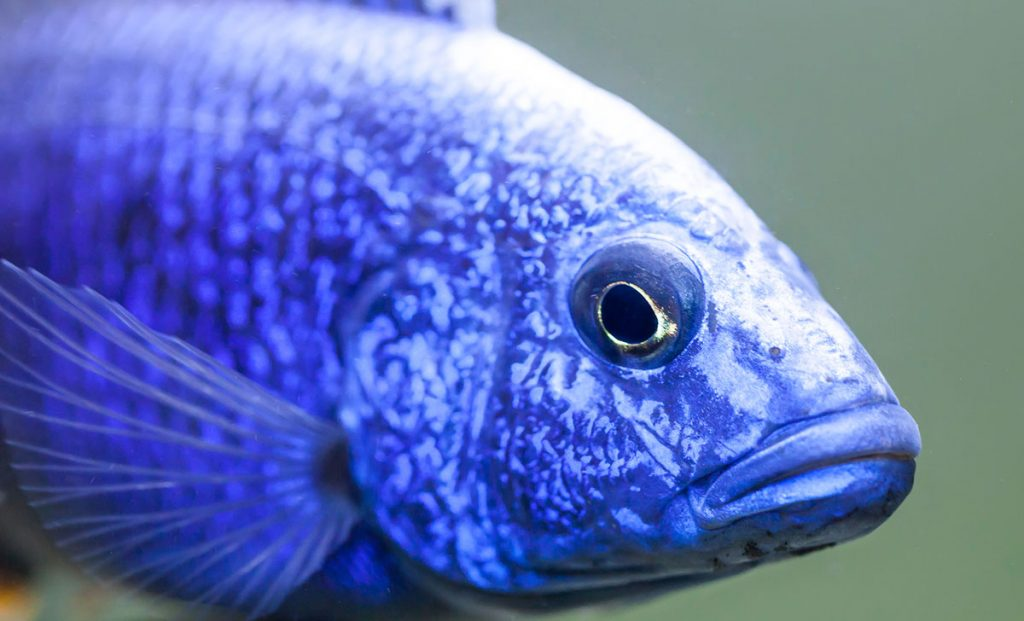 Close up of Electric Blue Hap african Cichlid