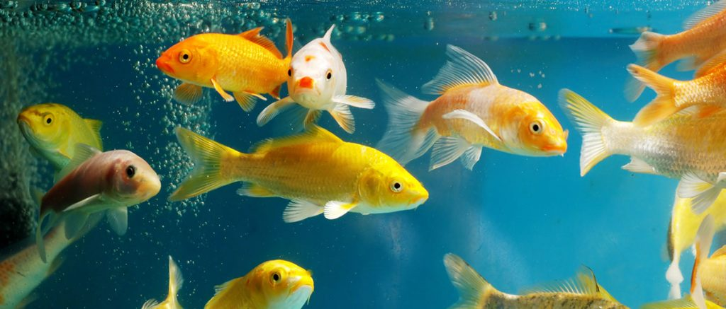 busy aquarium with too many fish causing cloudy water