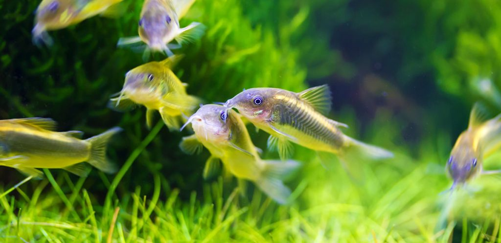 multiple corydoras swimming in a planted tank