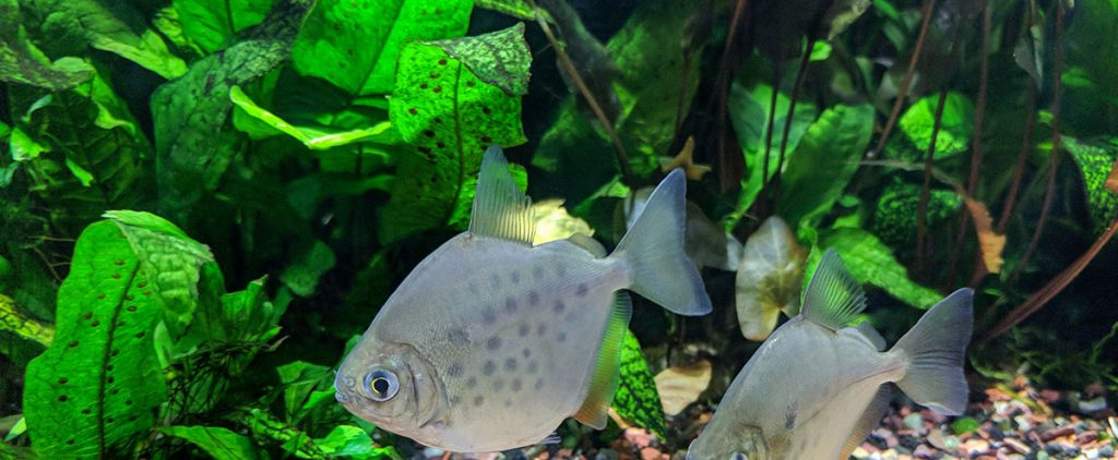Pair of Spotted Silver Dollar Fish swimming past java fern