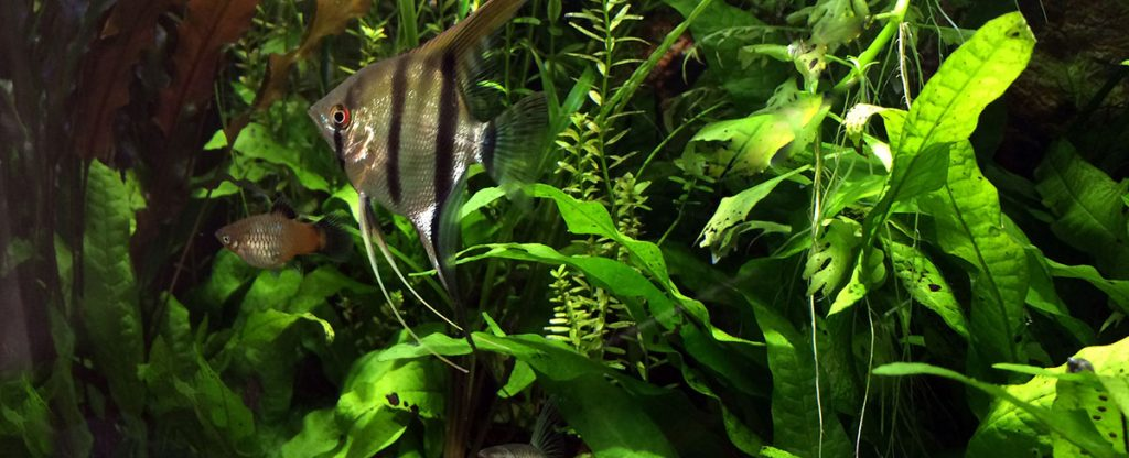 angelfish and other fish swimming past java fern
