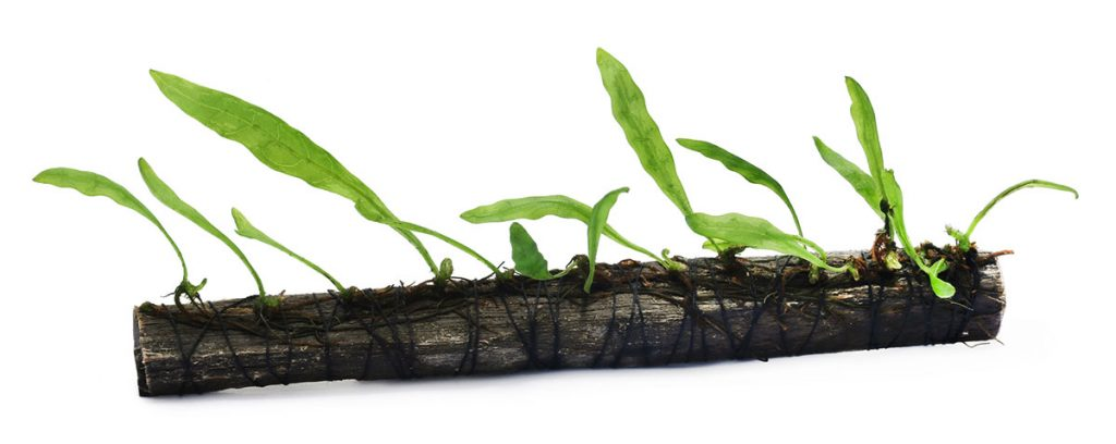 java fern tied to driftwood