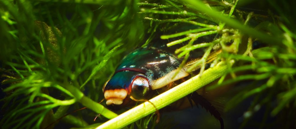 great diving beetle amongst hornwort