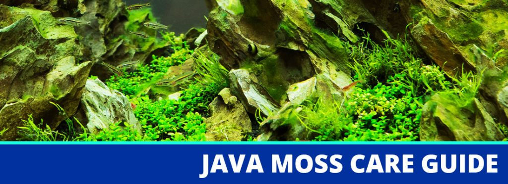 java moss care guide header
