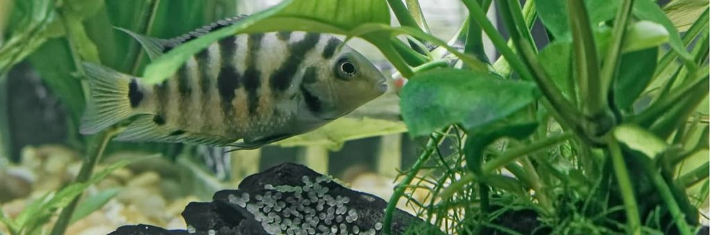 A South American Convict Cichlid  aquarium fish protecting her eggs from potential predators