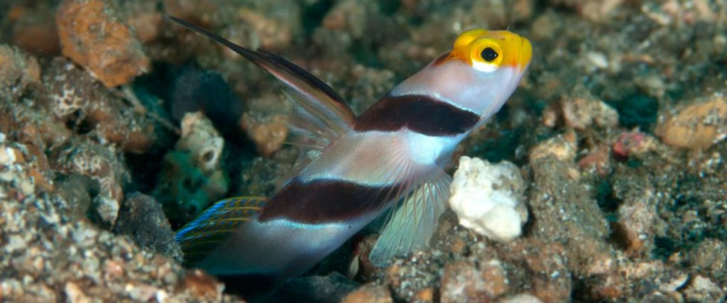 Hi-Fin Red Banded Goby