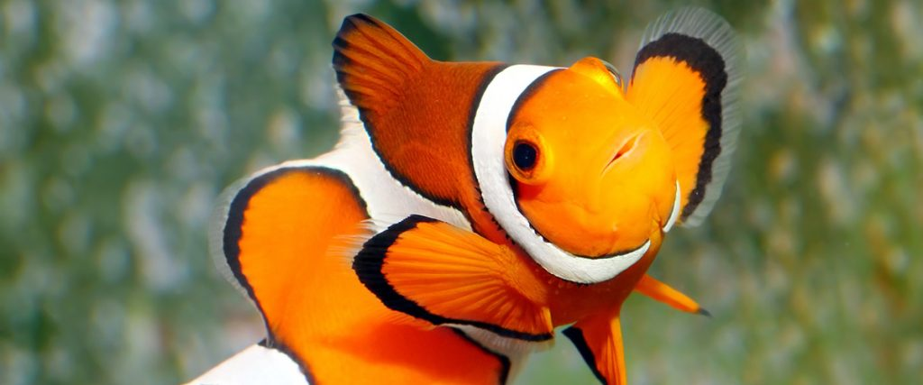 The Clownfish - Amphiprion ocellaris