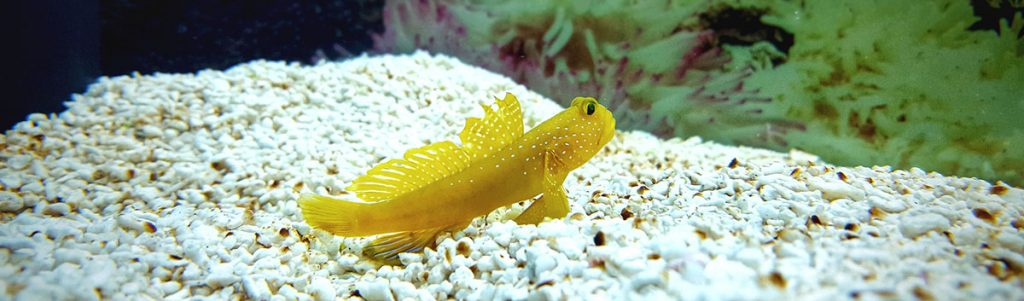 Yellow watchmen goby in coral reef aquarium