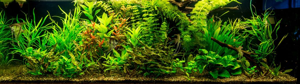 anubias and other plants in a fish tank