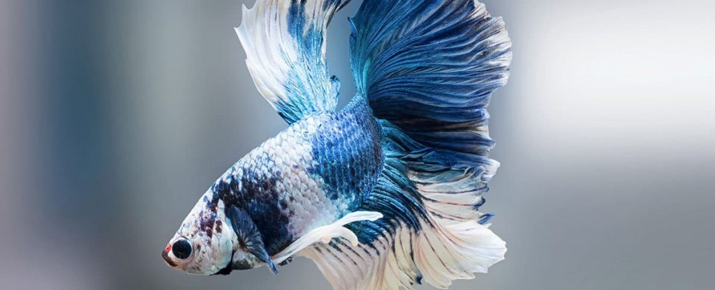 brilliant blue and white betta fish
