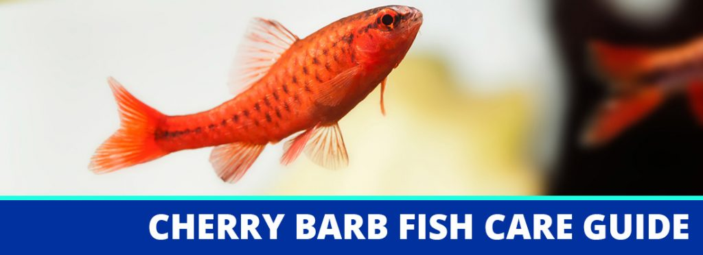 cherry barb fish care guide