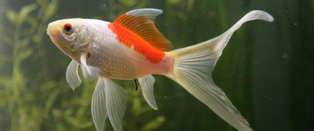 comet goldfish in a planted tank