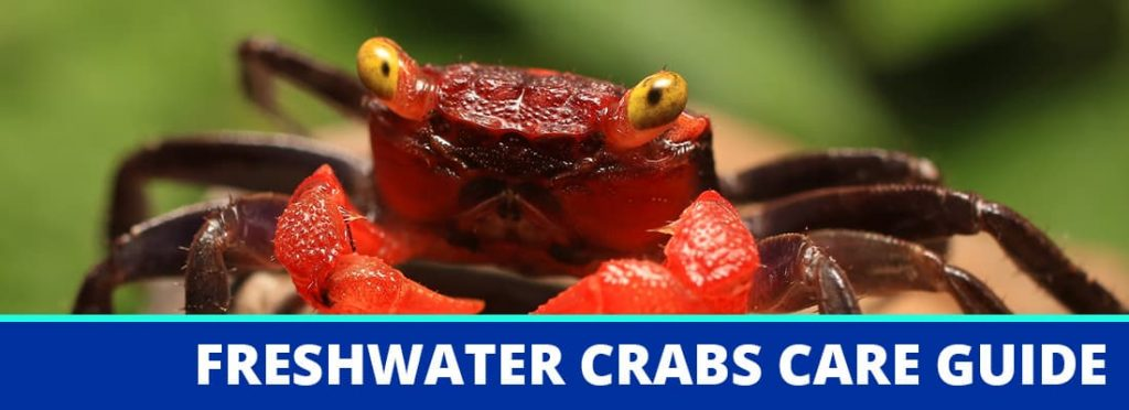 freshwater crabs care guide header