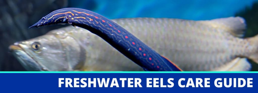 freshwater eels care guide