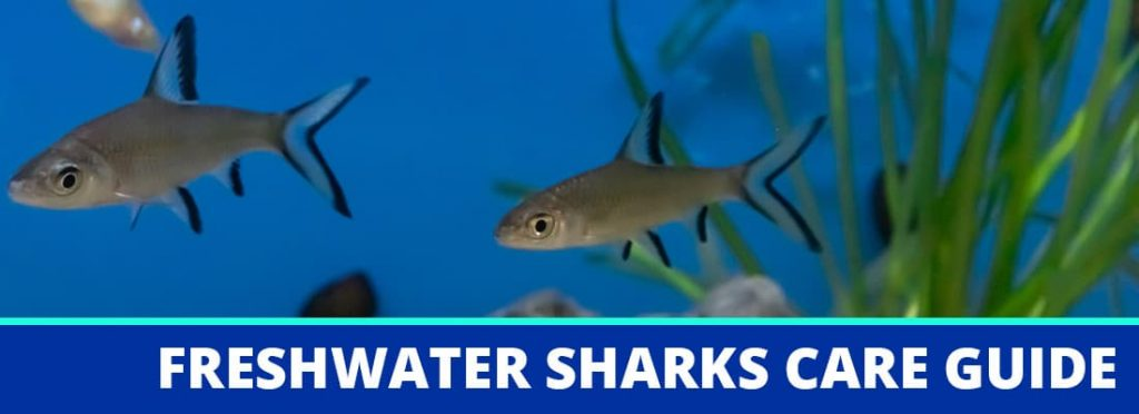 freshwater sharks care guide header