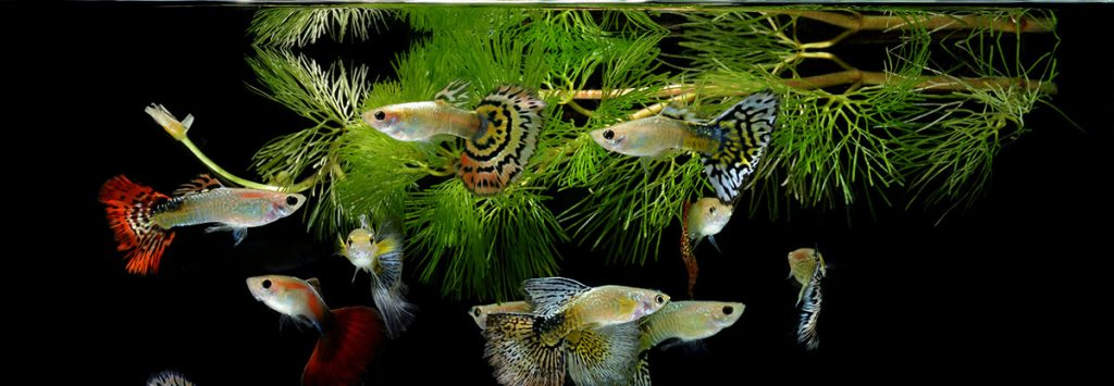 multiple guppies in a fish tank on a black background