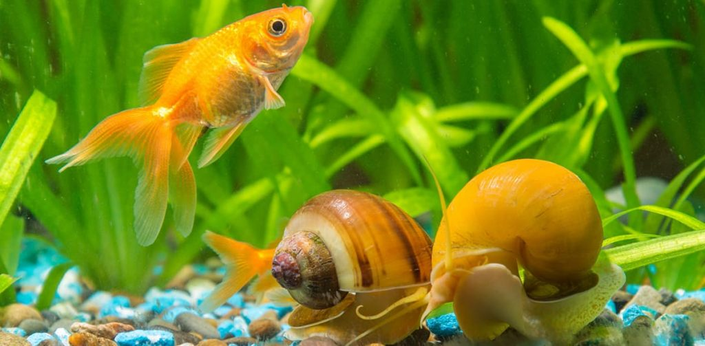 mystery snails with goldfish