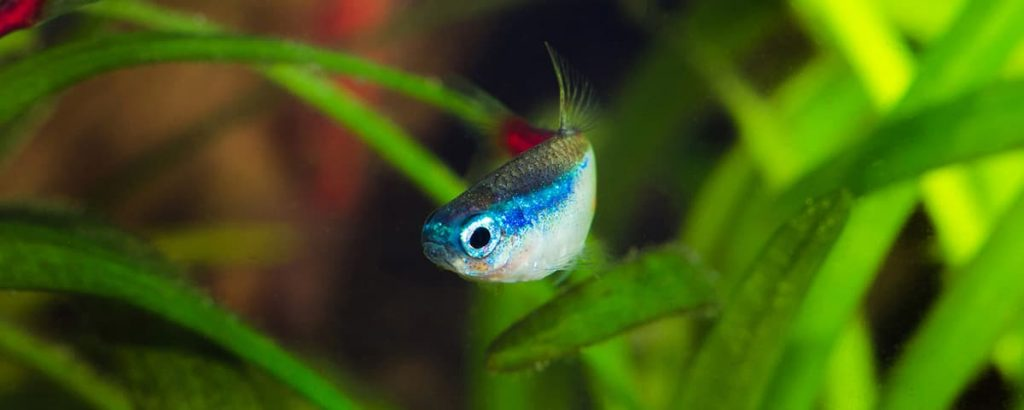 neon tetra front swimming