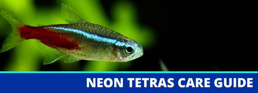 neon tetras care guide