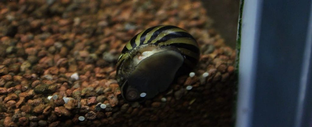 nerite snail in fish tank