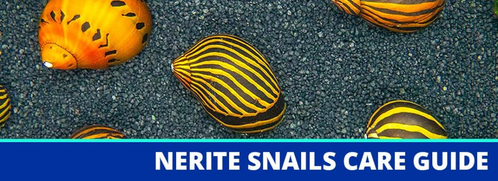 nerite snails care guide