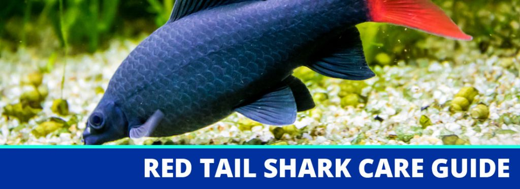 red tail shark care guide header