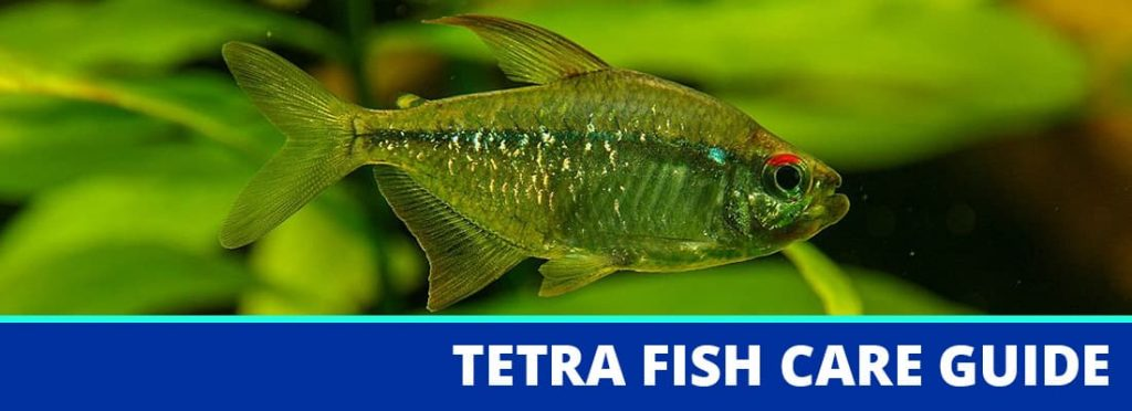 tetra fish care guide header