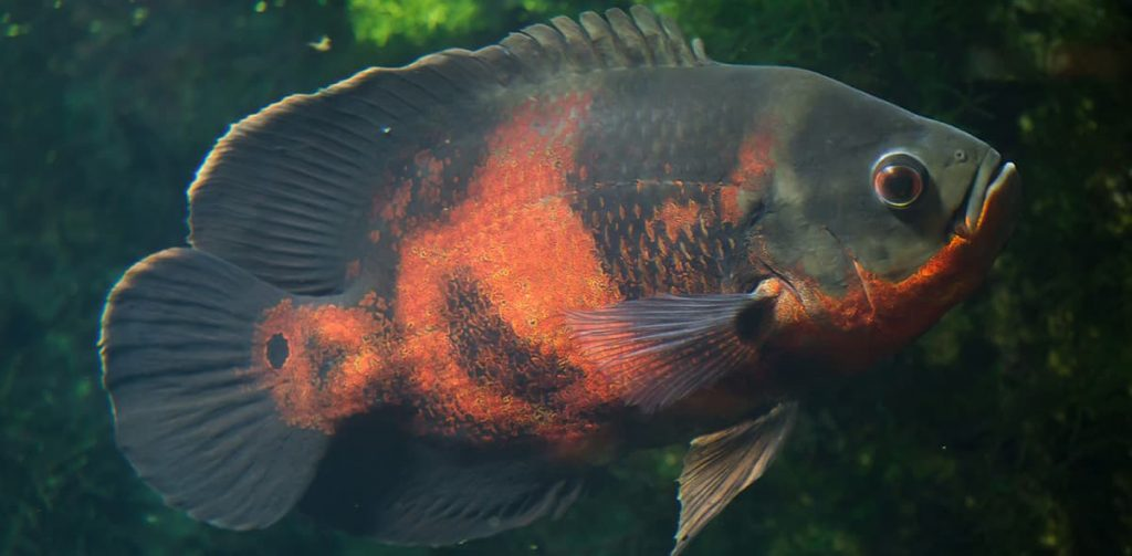 tiger oscar cichlid close up