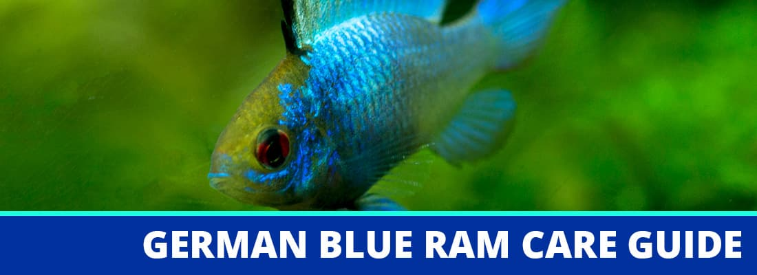 German Blue Ram Care Guide Fact Sheet Breeding Behavior
